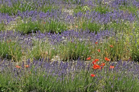 Lavender with poppies near Senanque, Luberon, Provence, Southern France photo