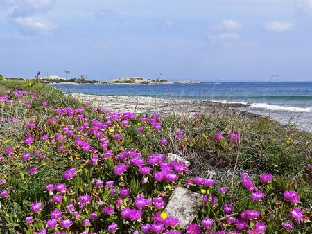 Beach near Santa di Gallura with red midday flowers (Carpobrotus), Sardinia, Italy Banco de Imagens