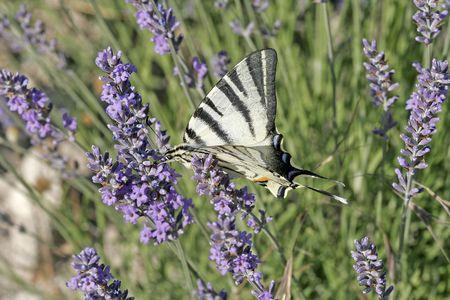 scarce: Iphiclides podalirius, Scarce Swallowtail