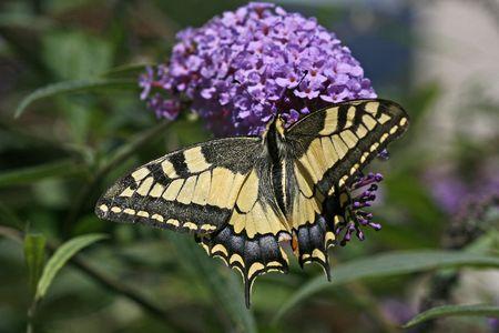 Papilio machaon, Old World Swallowtail