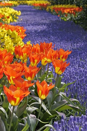 legend: Tulipa World Legend Darwin-Hybrid-Tulip Stock Photo