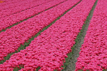 Tulip field near Wassenaar, Netherlands Stock Photo - 3780016