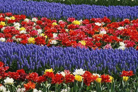 Tulip flower bed with Hyacinths (Muscari) Stock Photo - 3780022