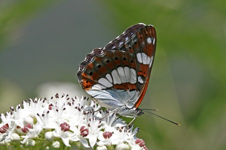 admiral: Limenitis reducta, Southern White Admiral Stock Photo