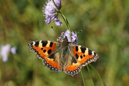 Nymphalis urticae, Aglais urticae, Small Tortoiseshell photo