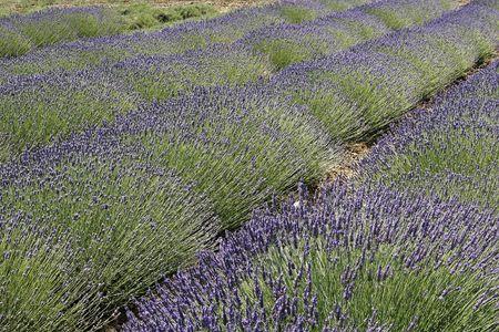 luberon: Lavender field near Rustrel, Luberon, Provence, Southern France, Europe