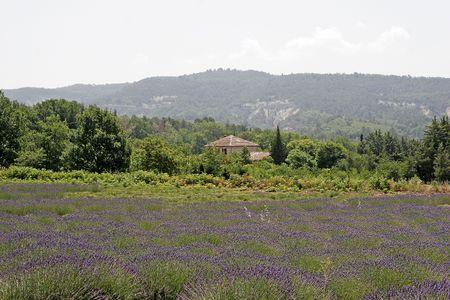 luberon: Lavender fields near Rustrel, Luberon, Provence, Southern France, Europe