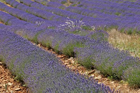 Lavender field near Sault, Luberon, Provence, Southern France, Europe photo