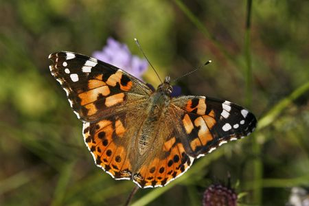 Vanessa cardui, Painted Lady, Butterfly Stock Photo