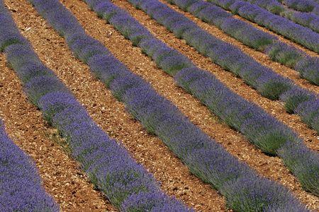 Lavender field near Sault, Provence, Southern France photo