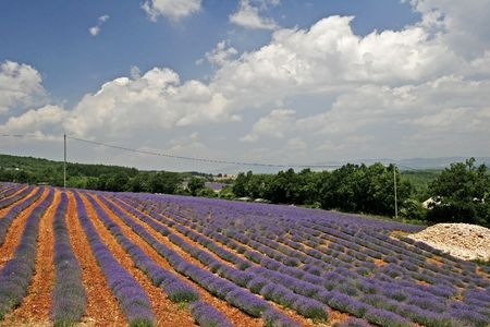 Lavender field near Sault, Provence, Southern France, Europe photo