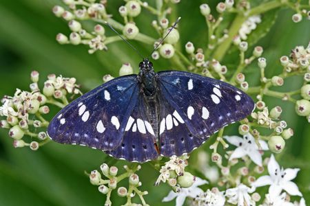 Southern White Admiral (Limenitis reducta) rare butterfly in Europe