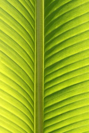 Palm tree, detail of leave by back-light