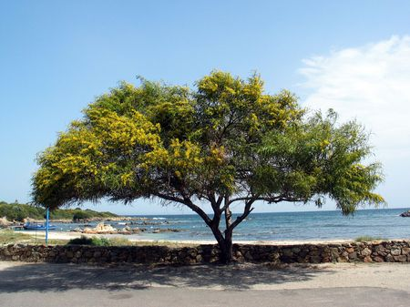 San Teodoro, Acacia tree, Sardinia, Italy