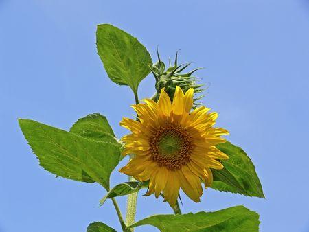 helianthus: Sun flower (Helianthus), Marigold
