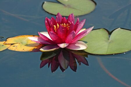waterlily: Nymphaea-Hybrid, Water-Lily
