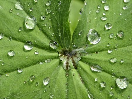 ladys mantle: Ladys mantle (Alchemilla) with raindrops Stock Photo
