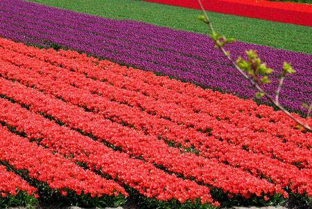 lisse: Tulp veld in de buurt van Lisse, Nederland