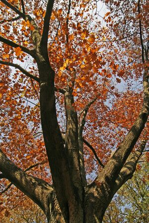 Northern Red Oak in autumn Stock Photo