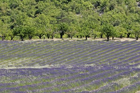 the luberon: Lavender field near Croagnes, Luberon, Provence, Southern France