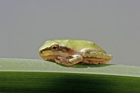 hyla: Stripeless tree frog, Hyla meridionalis