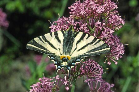 scarce: Scarce Swallowtail (Iphiclides podalirius), Segelfalter