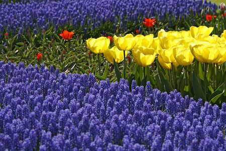 Tulip mix, Sort Kikomachi, Netherlands, Europe photo