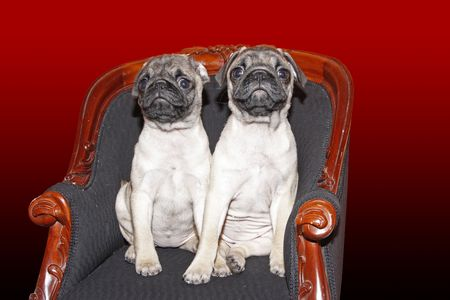 Young 10 months old female pugs sitting on a chair