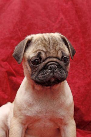 Young 10 weeks old pug. photo