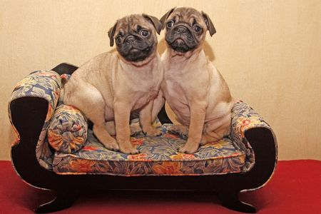 Pugs sitting on a sofa (10 weeks old dogs) photo