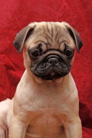 carlin: Young 10 weeks old female pug. Stock Photo