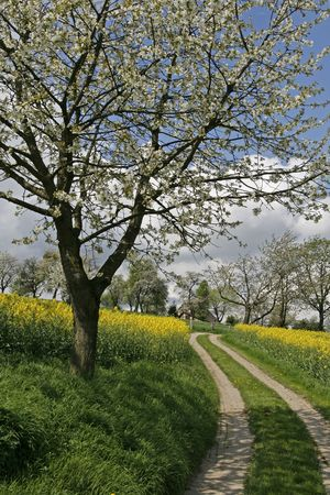 canola plant: Footpath with rape field and cherry trees in Hagen, Lower Saxony, Germany, Europe Stock Photo