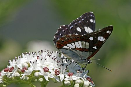Southern White Admiral (Limenitis reducta) Rare butterfly in Europe Фото со стока