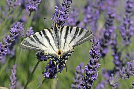 scarce: Scarce Swallowtail on Lavender Bloom, (Iphiclides podalirius), Segelfalter, Provence, Southern France Stock Photo