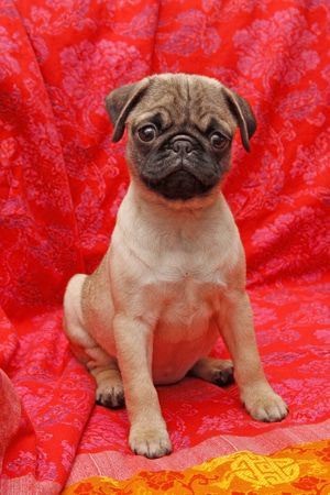 Young 10 weeks old female pug. Banco de Imagens