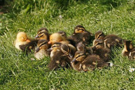 Anas platyrhynchos, Mallard, little baby ducks Stock Photo - 6857430