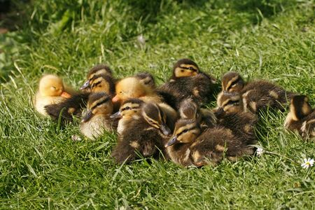 Anas platyrhynchos, Mallard, little baby ducks photo