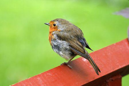 rubecula: Erithacus rubecula, Robin