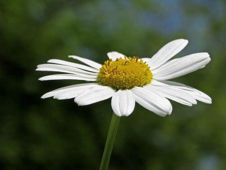 vulgare: Oxeye daisy, Leucanthemum vulgare, Marguerite Stock Photo