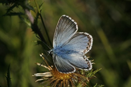 lycaenidae: Chalk-hill Blue, Polyommatus coridon, Lysandra coridon, Silbergruener Bläuling, male butterfly