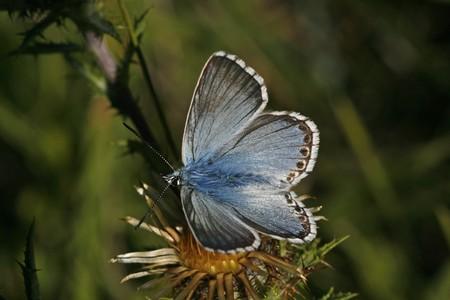Chalk-hill Blue, Polyommatus coridon, Lysandra coridon, Silbergruener Bläuling, male butterfly Stock Photo