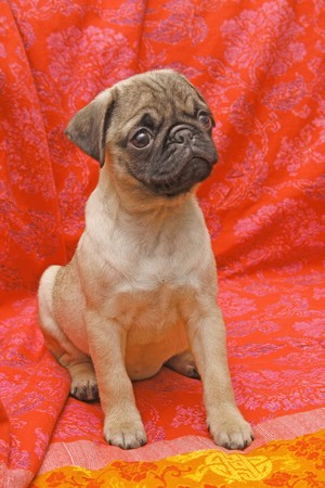 Young ten weeks old female pug