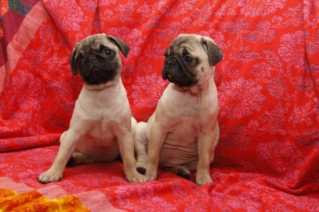 Young 10 weeks old female pugs sitting on a sofa