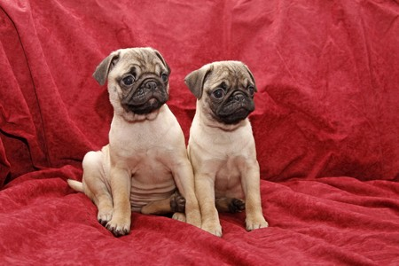 Young ten weeks old female pugs sitting on a red sofa photo