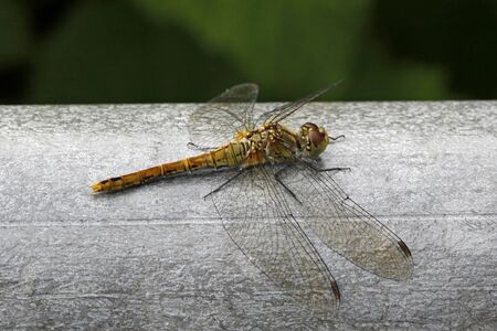 sympetrum: Dragonfly - Sympetrum Stock Photo