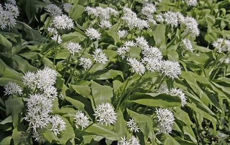 Allium ursinum, Ramsons, Wild garlic Stock Photo