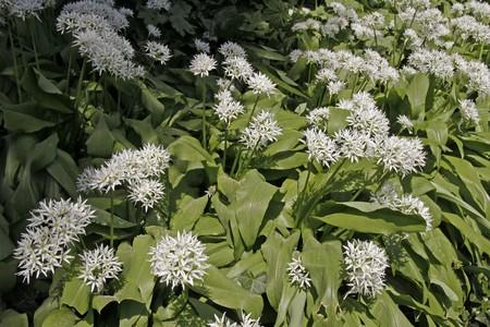 Allium ursinum, Bärlauch, Bären-Lauch Stock Photo