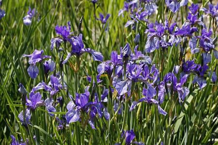 farbe: Iris sibirica, Sibirische Schwertlilie (Sibirian Iris)