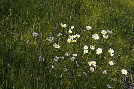 blumen: Leucanthemum vulgare, Wiesen-Margerite, Wiesen-Wucherblume - Oxeye daisy, Marguerite