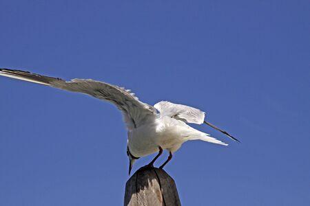 ridibundus: Larus ridibundus - Black-headed gull Stock Photo